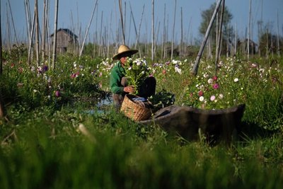 Man tending a floating flower garden, Lake Inle