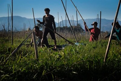 Men working on the floating vegetable gardens, Lake Inle