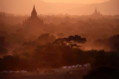 Shepherds steering a herd of cows near the temples in Bagan