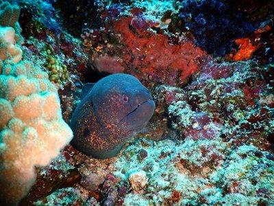Moray eel, Bunaken