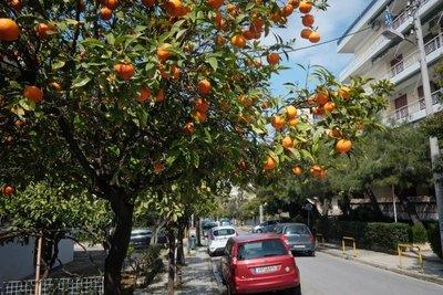Orange trees, Athens