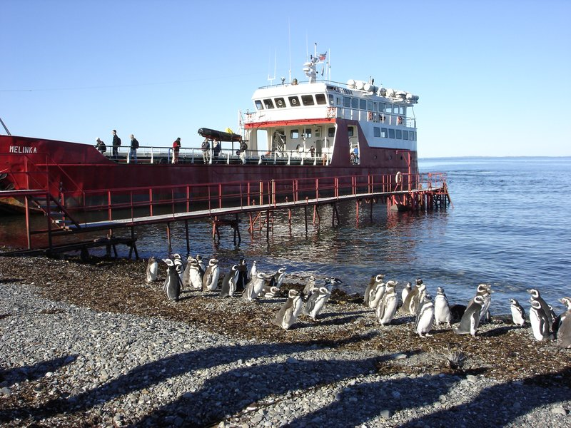 Penguins: Isla Magdalena, Chile