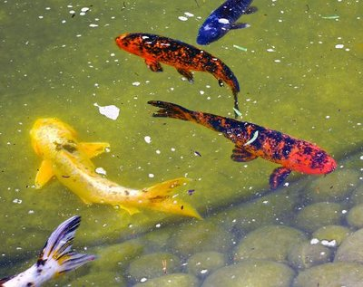 Koi Fish in the Japanese Garden