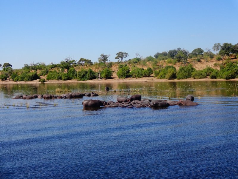 Hippos whilst on a River Safari in Botswana