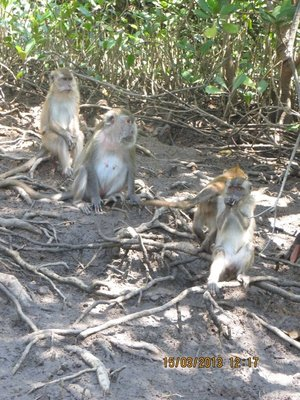 Mangrove Monkeys 1