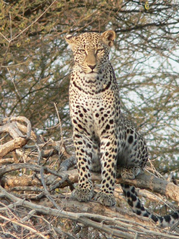 leppard in Masai Mara
