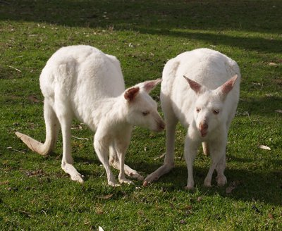 White Kangaroos in Bordertown