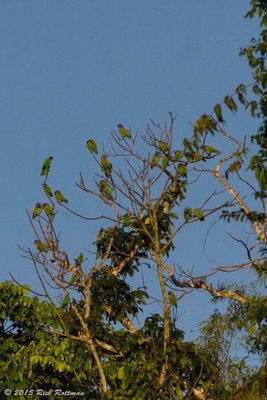 Blue Headed Parrot Flock