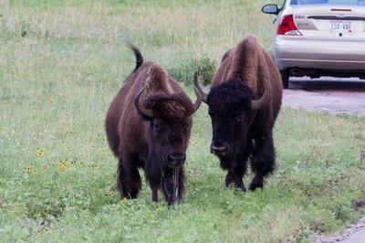 Buffalo Pair