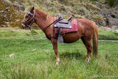 D 35-Peruvian Paso Horse