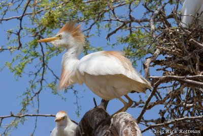 Day 26-Male Cattle Egret Displaying