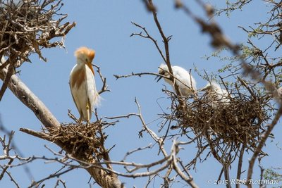 Day 26-Male Cattle Egret with Nestlings