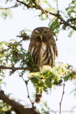 Day 26-Peruvian Pygmy Owl