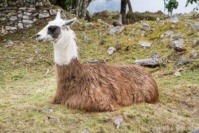 Day 38-Resting Llama