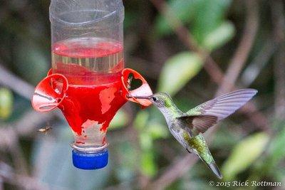Day 40-Andean Emerald (?) Colibri