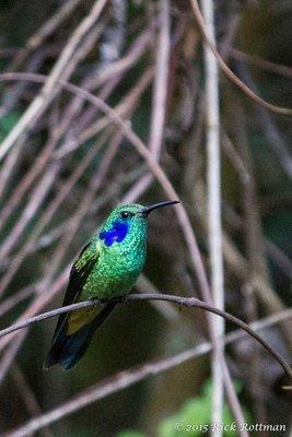 Day 40- Green Violetear Colibri (?)