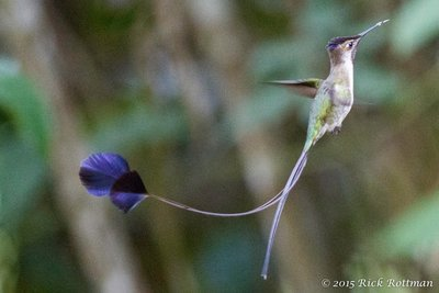 Day 40- Marvellous Spatuletail Colibri_