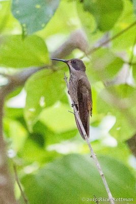 Day 40- Unidentified Colibri