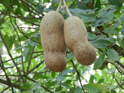 Salamibaum