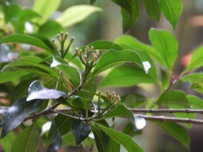 Nelkenbaum