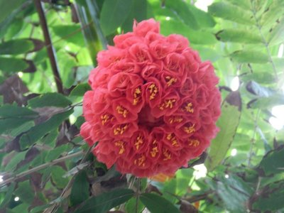 Rose von Venezuela