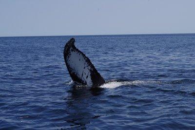 Le bonjour de la baleine