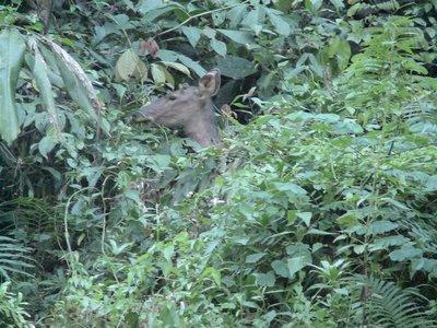 DSC00066 Sambar deer