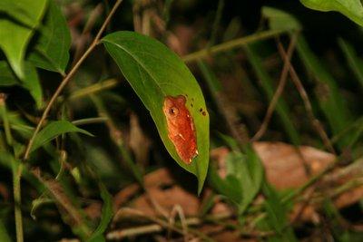 IMG_6027 Harlequin tree frog
