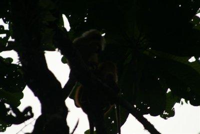 IMG_6037 Maroon langur