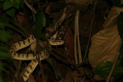 IMG_6109 Sumatran pit viper