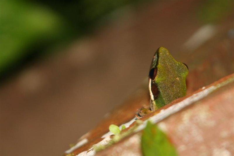 IMG_6024 White-lipped tree frog