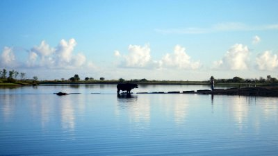 Water Buffalo and lone fisherman