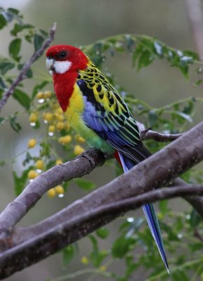 24_LakeGlenbawn_EasternRosella