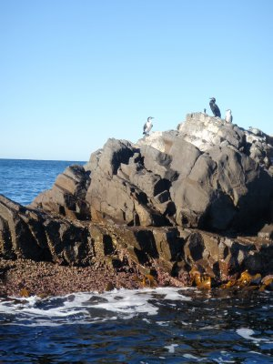 Black Faced Cormorants, Bruny Island