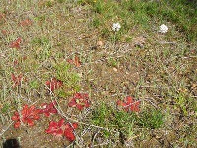 Red sticky plant