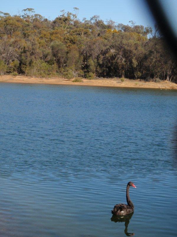 Swan on Hyden Dam