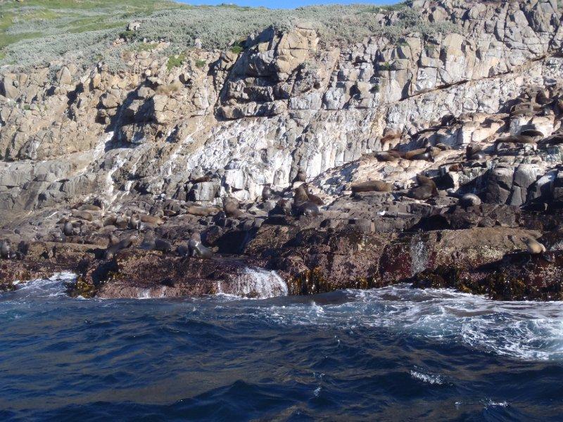 Seals, Bruny Island
