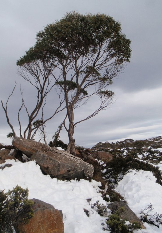 Tree on Mt Wellington