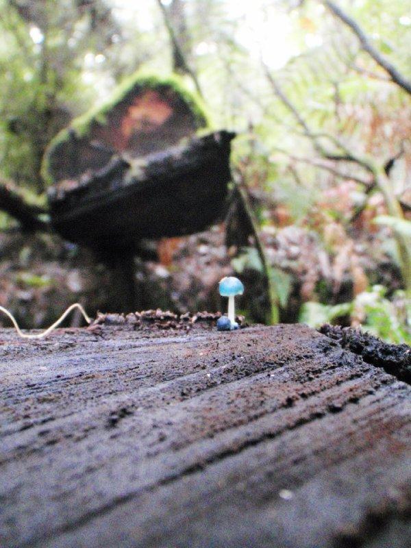 Blue fungi