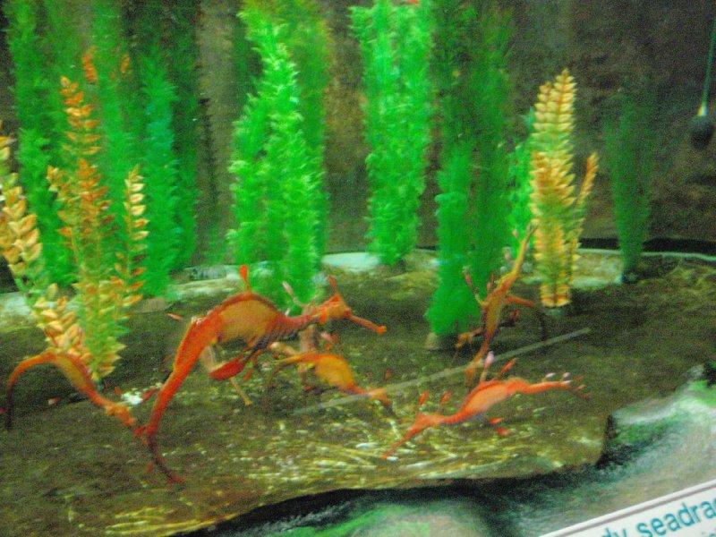 Leafy Seadragons