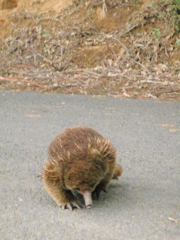 Tasmanian Echidna