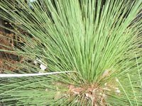 Black boy / Grass tree