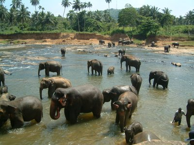 Elephants bathing in river at Pinnewela