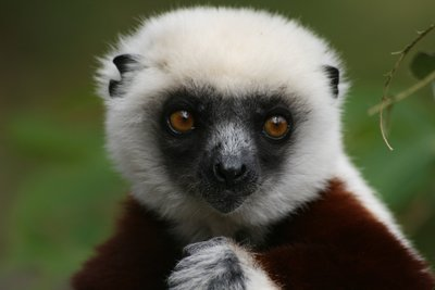 Cockerells Sifaka