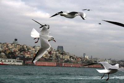 Seagulls following the ferry