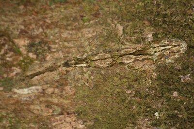 Tree Chameleon