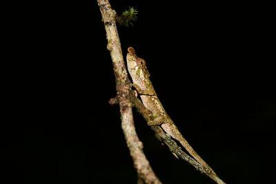 Minute chameleon