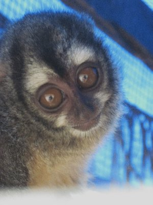 Night Monkey