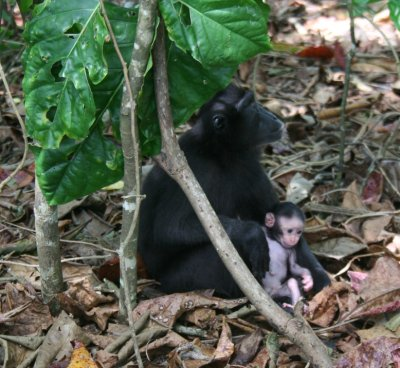 Black macaque with baby