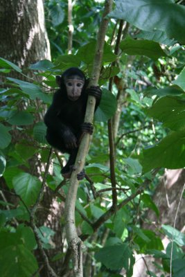 Baby black macaque